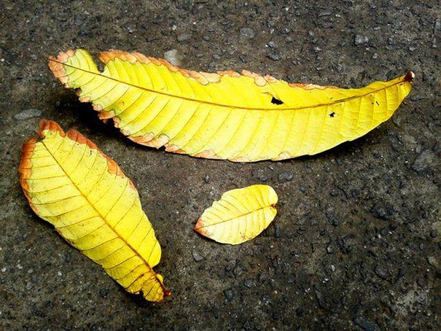 yellow - daun kuning