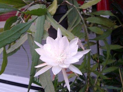 wijayakusuma flower