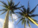 Pohon kelapa di Gardenia