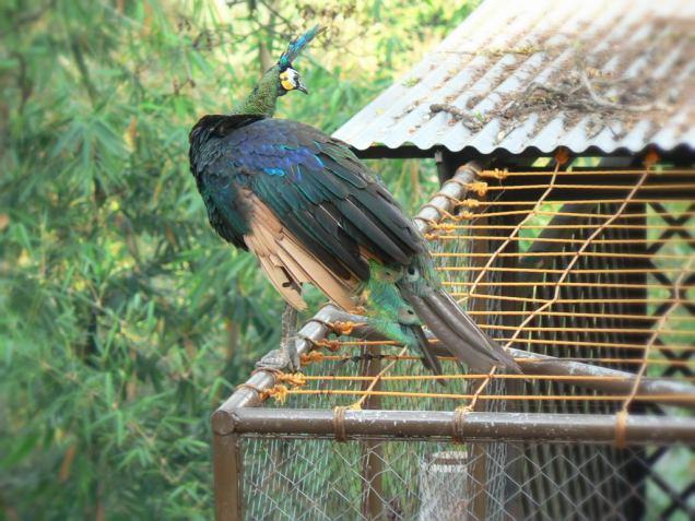 Burung Merak (Peacock)